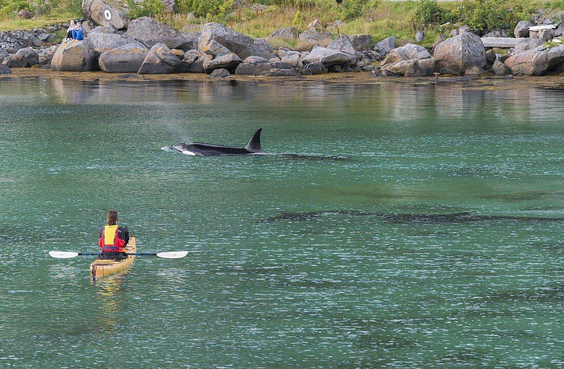 Giant killer whale, kayaker, Reine, Moskenesoya, Lofoten, Nordland, Norway