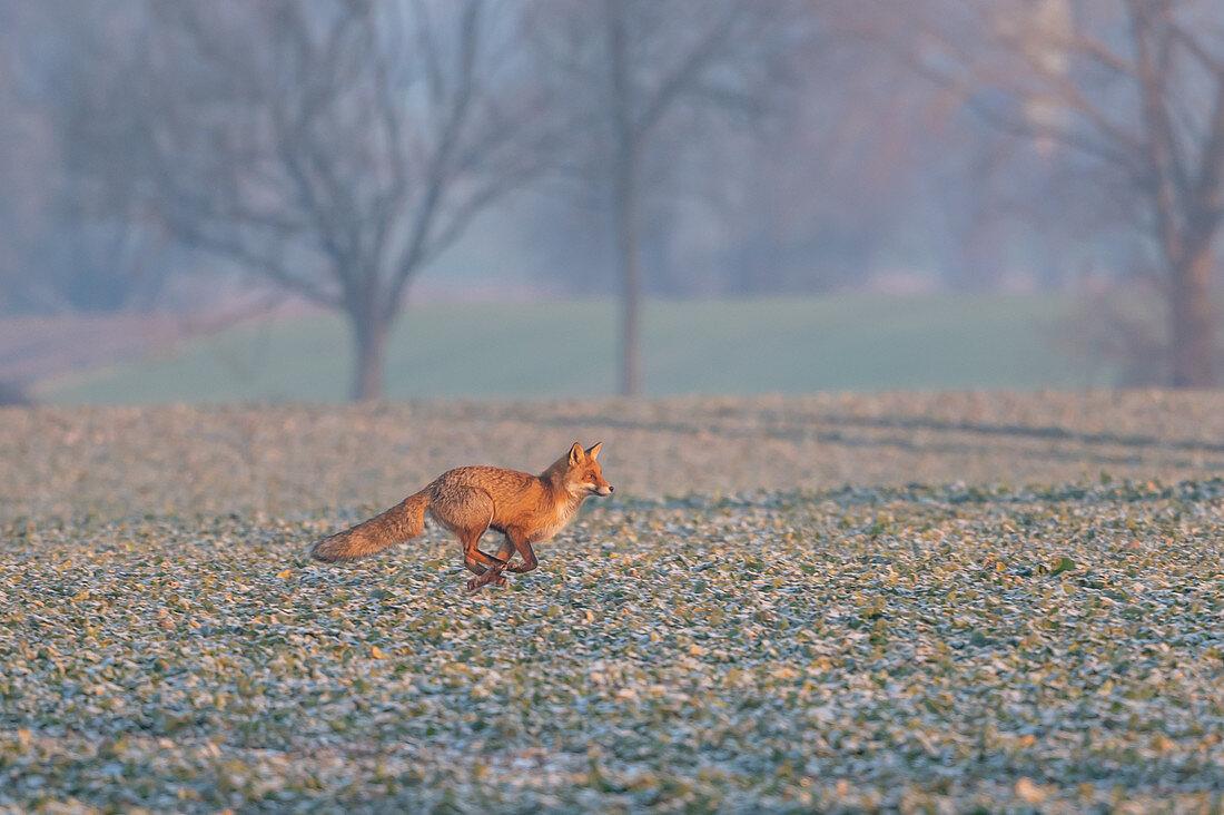 Fox in the first morning light on a rape field, fox, hoarfrost, rape field