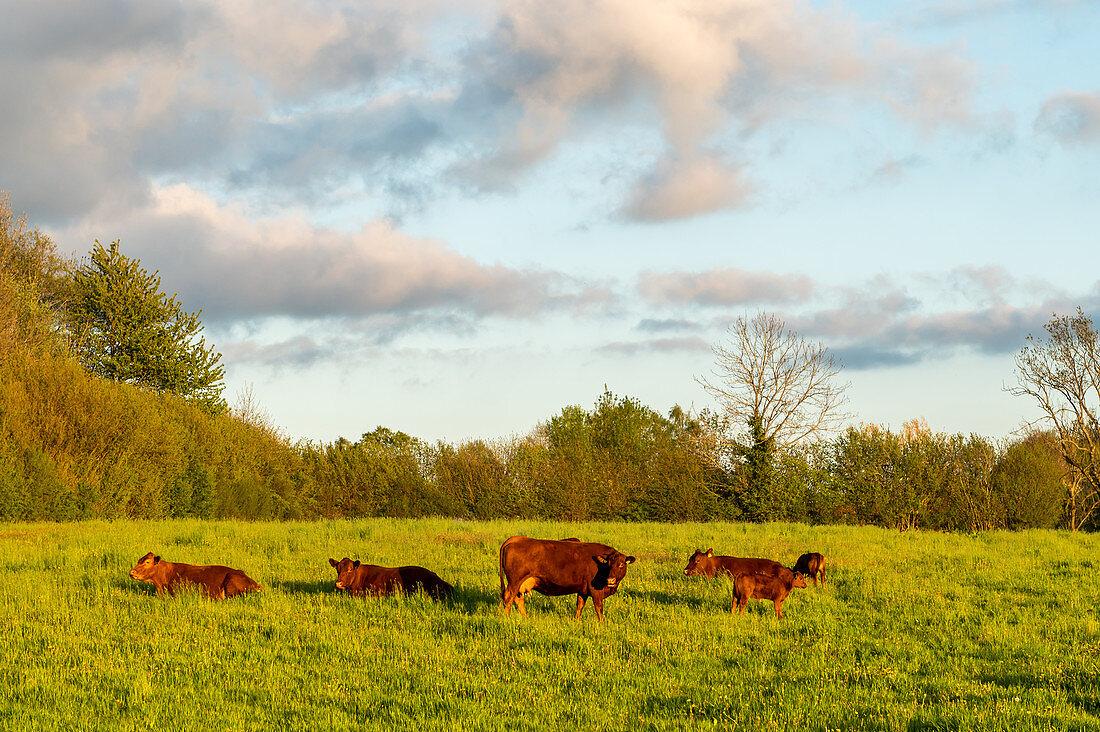 Angus herd in Sieseby an der Schlei, evening mood, Schwansen, Thumby, Schleswig-Holstein, Germany