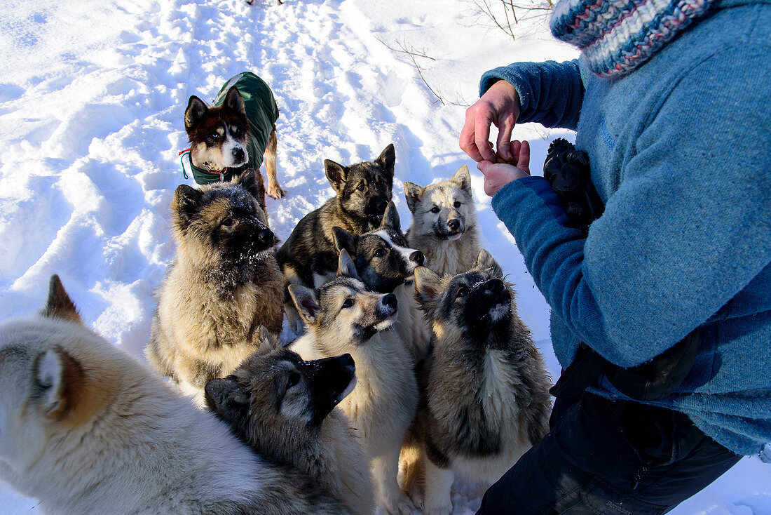 Young sled dog getting treats, Björn Klauer's husky farm, Bardufoss, Norway