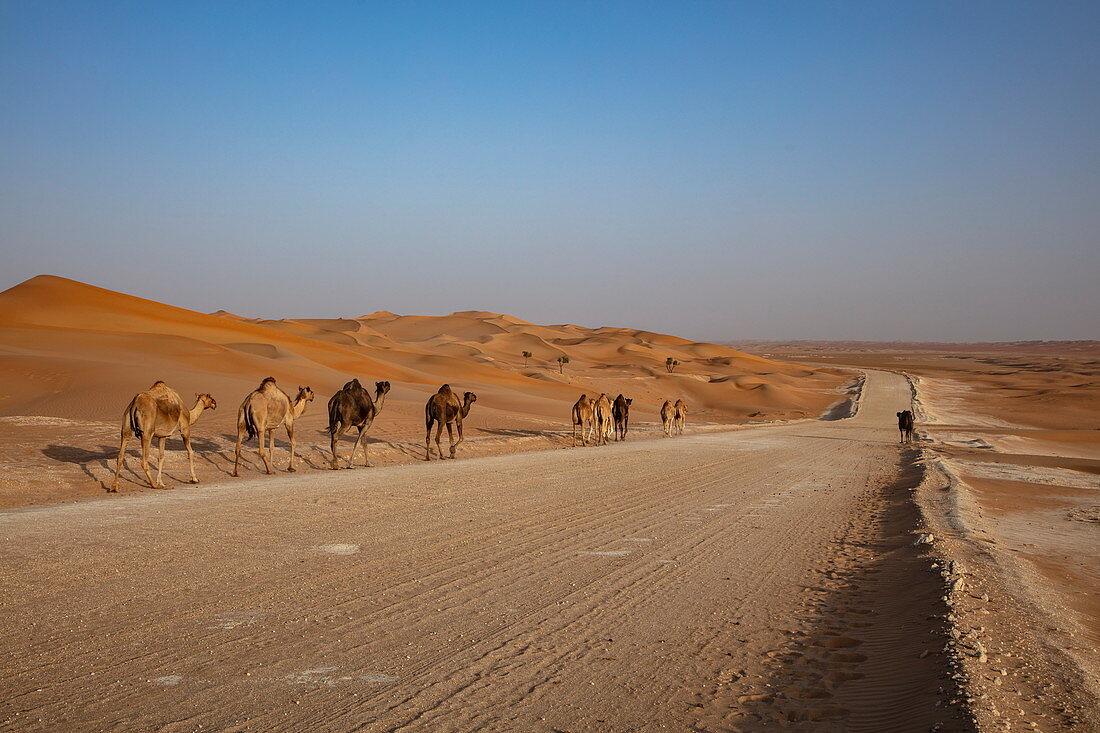 Camels run along road through the desert, near Arabian Nights Village, Razeen Area of Al Khatim, Abu Dhabi, United Arab Emirates, Middle East