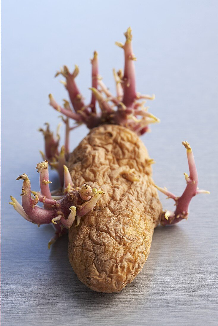 Sprouting potato
