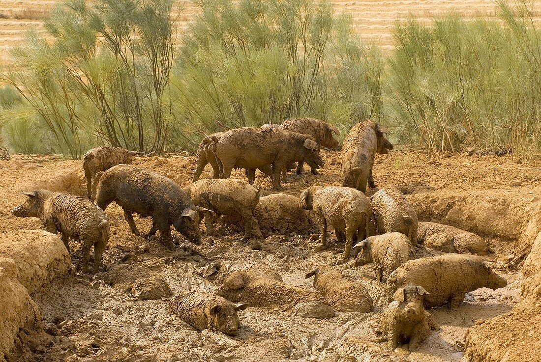 Wild boars in mud