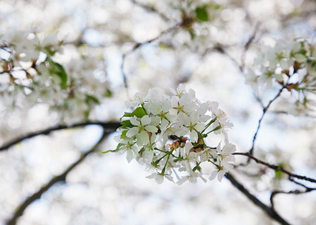 Cherry blossom on branch
