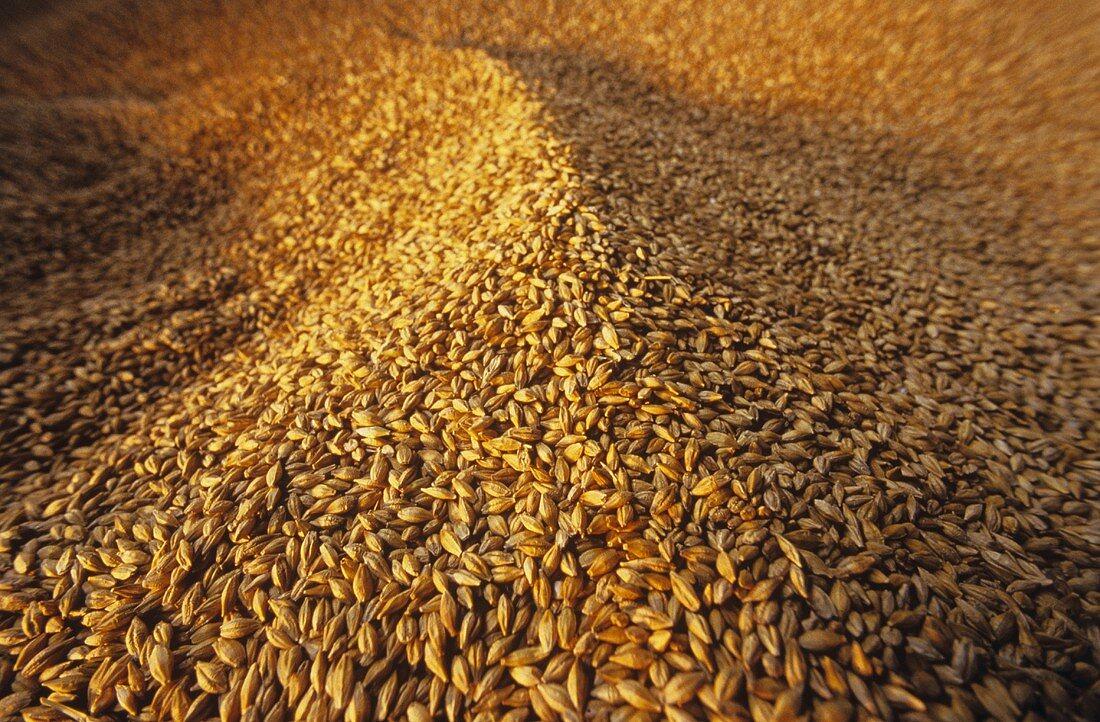 A Heap of Brewing Barley