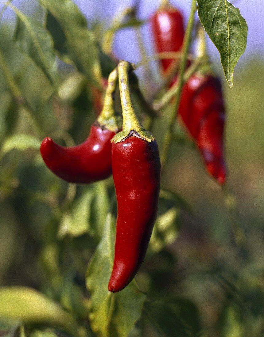 Chili peppers (Capsicum annuum), on the plant