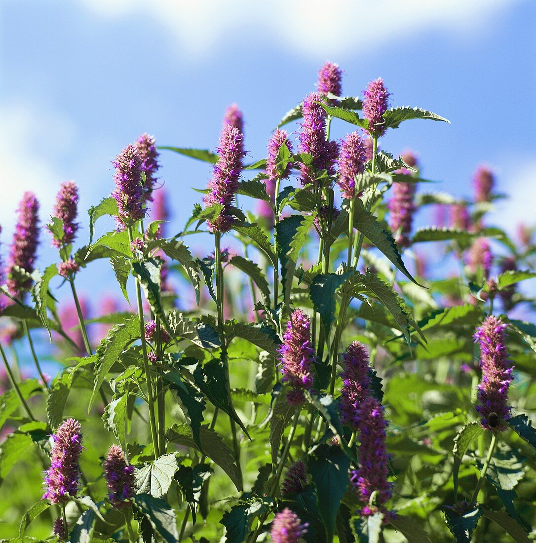 Flowering anise hyssop in the open air