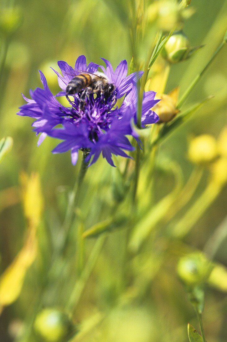 Cornflower with bee
