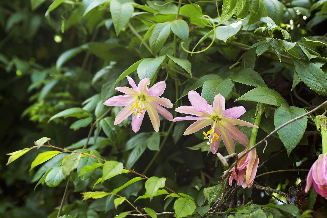 Curuba flower (flower of a type of passion-fruit)