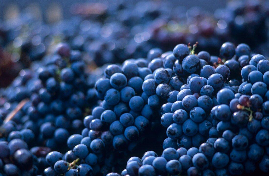 An abundance of Barbera grapes (full-frame)