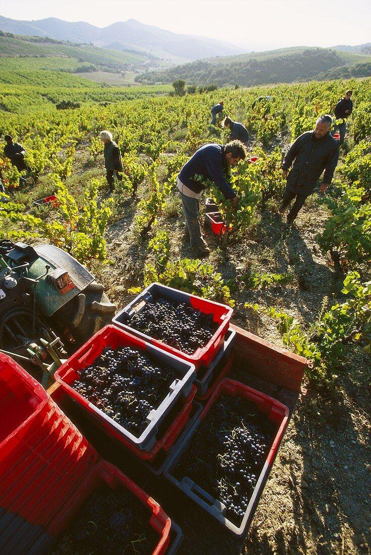 Grape-picking, Olivier Pithon estate, Roussillon, France