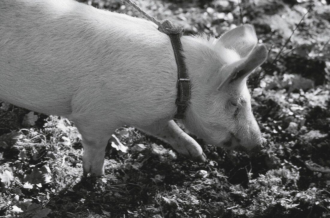 Truffle pig hunting for truffles