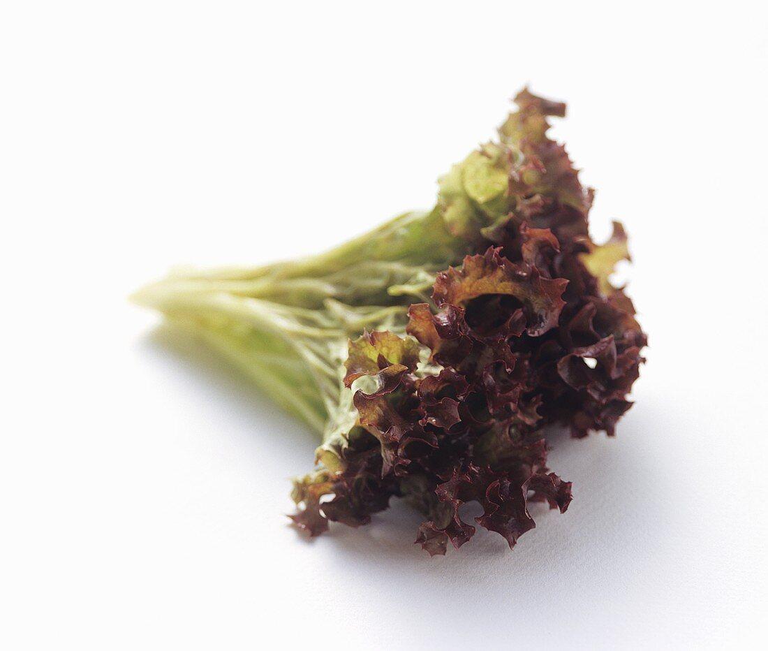 Red Tipped Oak Leaf Lettuce