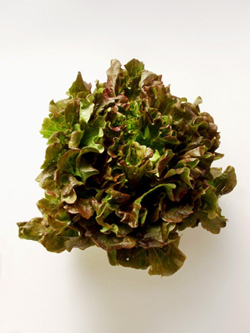 A Head of Red Batavia Lettuce
