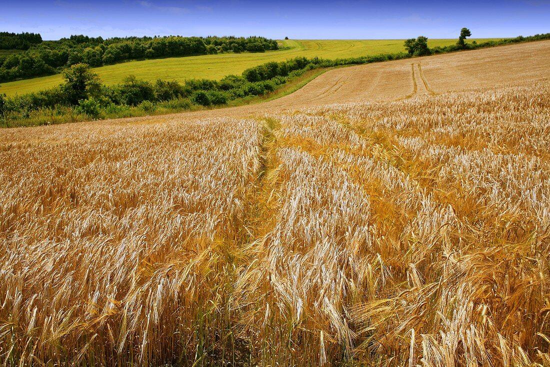 Field of barley in Wiltshire, England