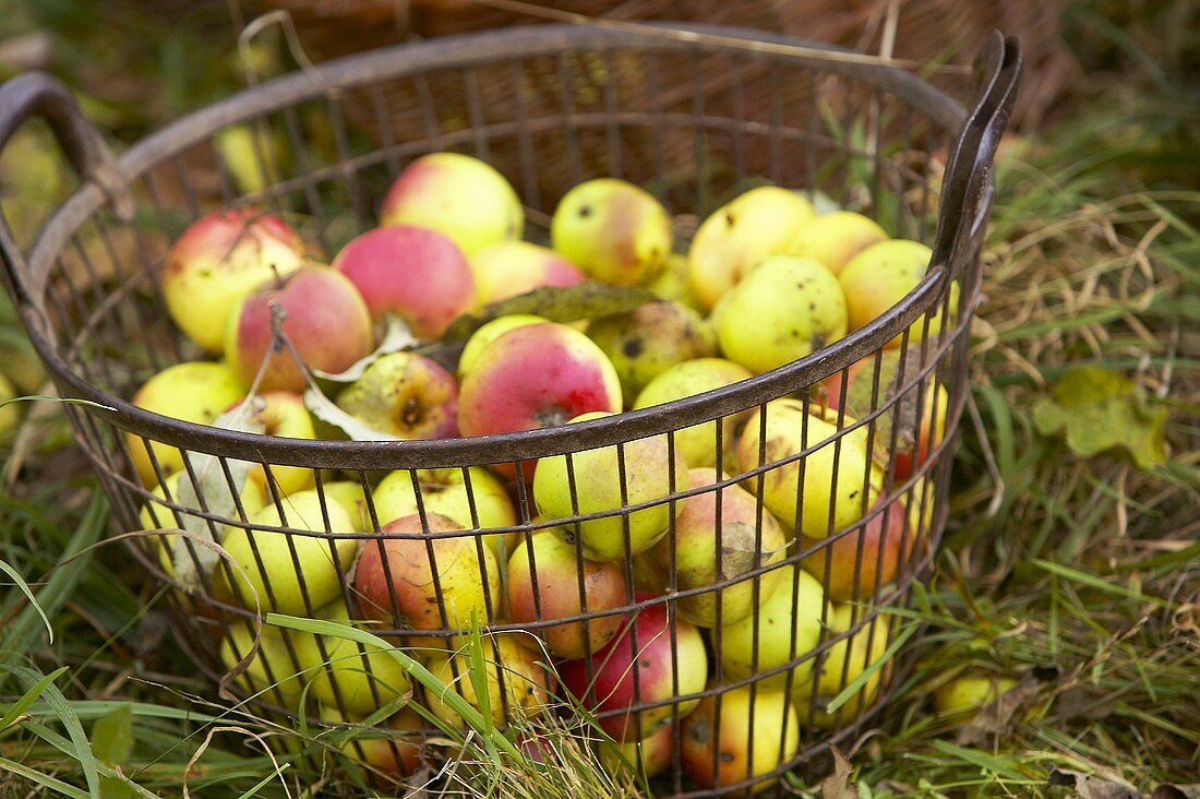 Apple harvest: fresh apples in a basket (cider apples)