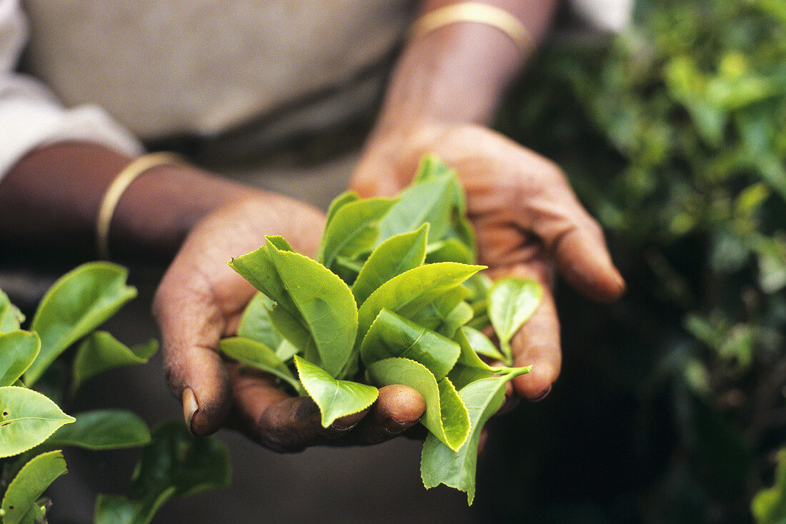 Hands holding freshly picked tea leaves (Munnar, India)