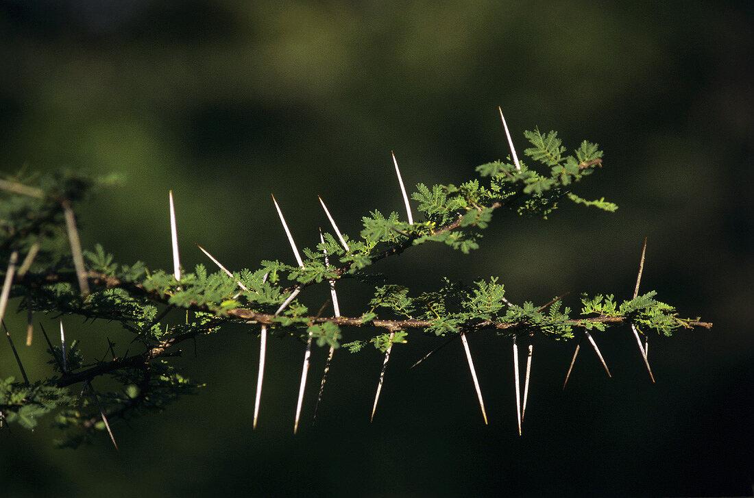 Indian gum arabic tree (Acacia arabica Wild)