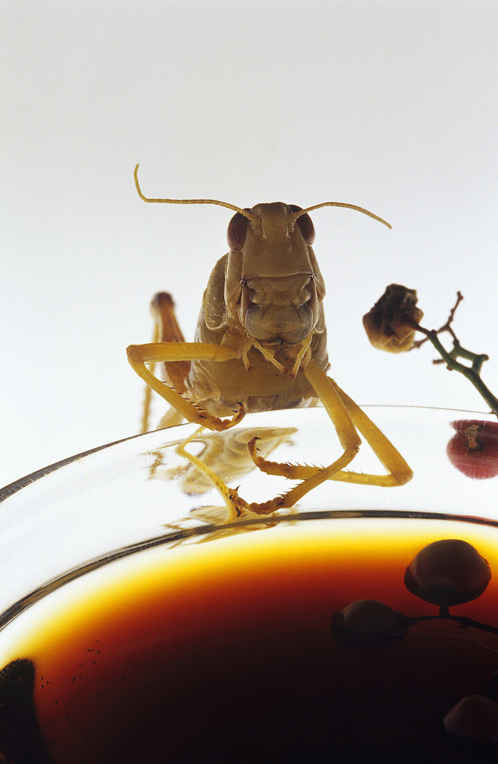 Grasshopper leaning on a small bowl of soy sauce