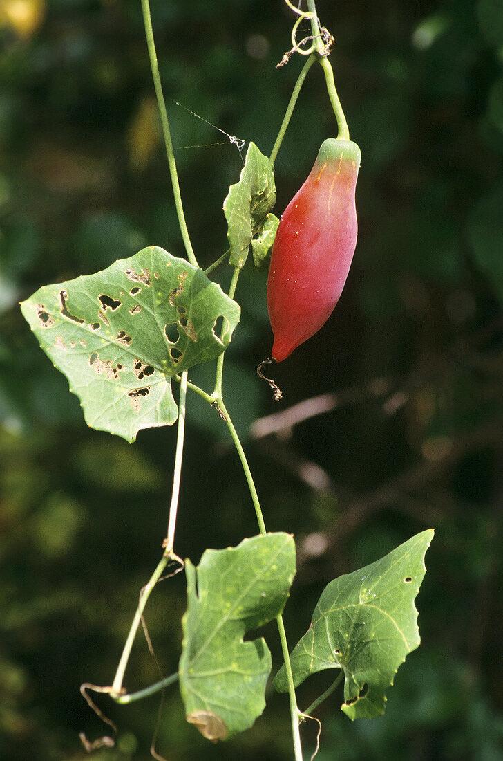 Coccinia grandis (Tindora, edible vine from S.E. Asia)