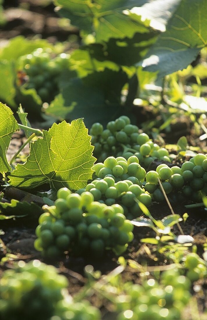 Grapes lying on the ground after the 'green harvest'