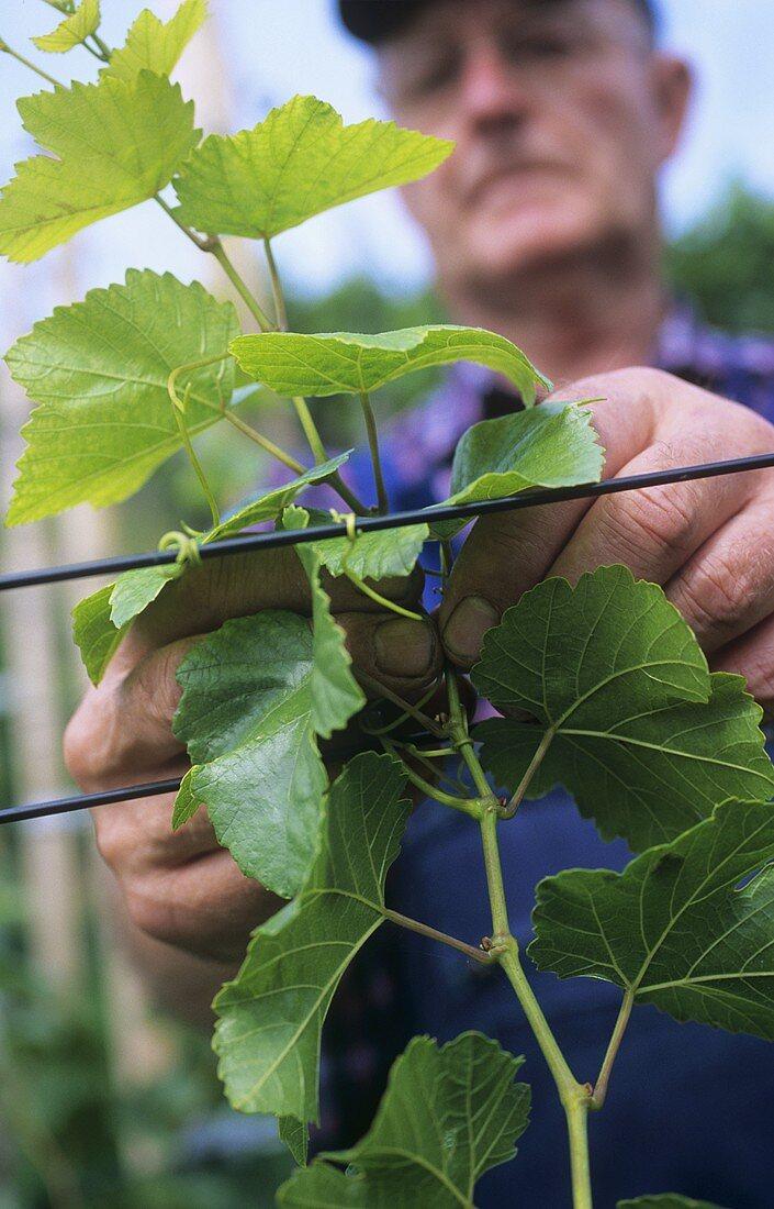 Removing vine foliage