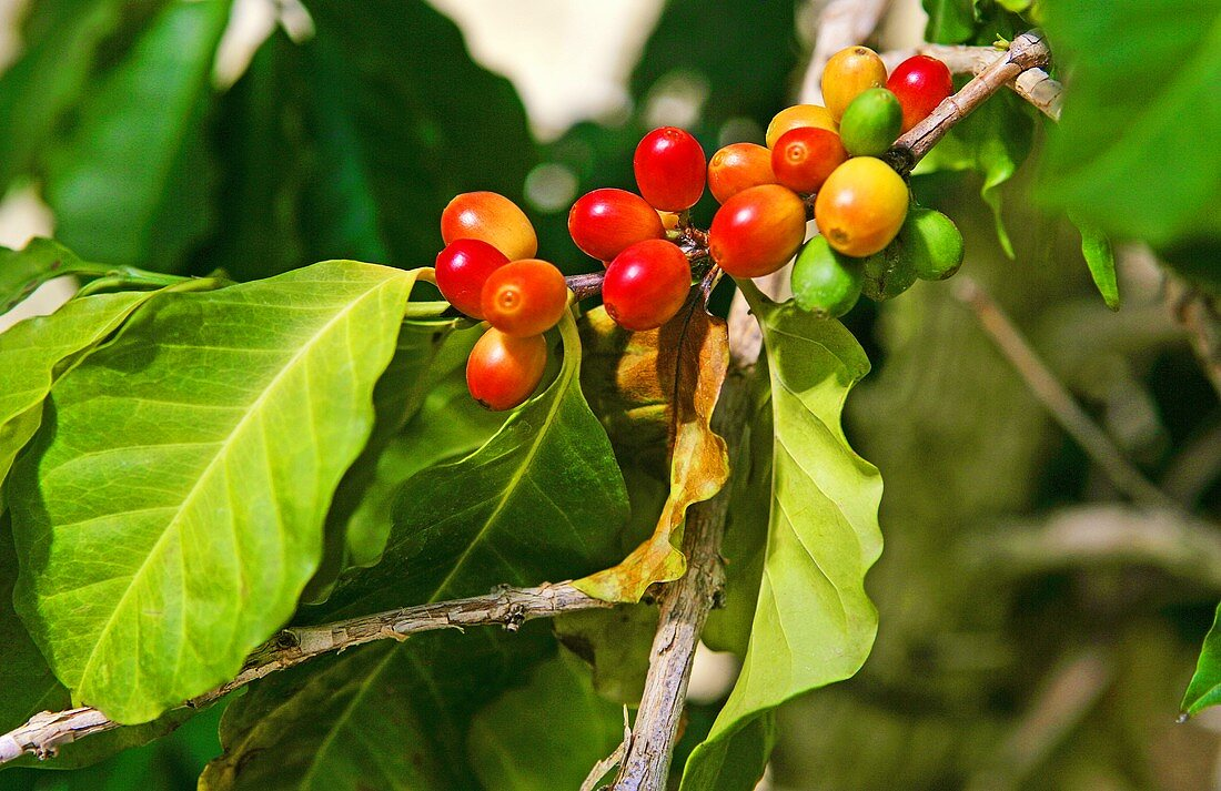 Arabica coffee beans on the plant
