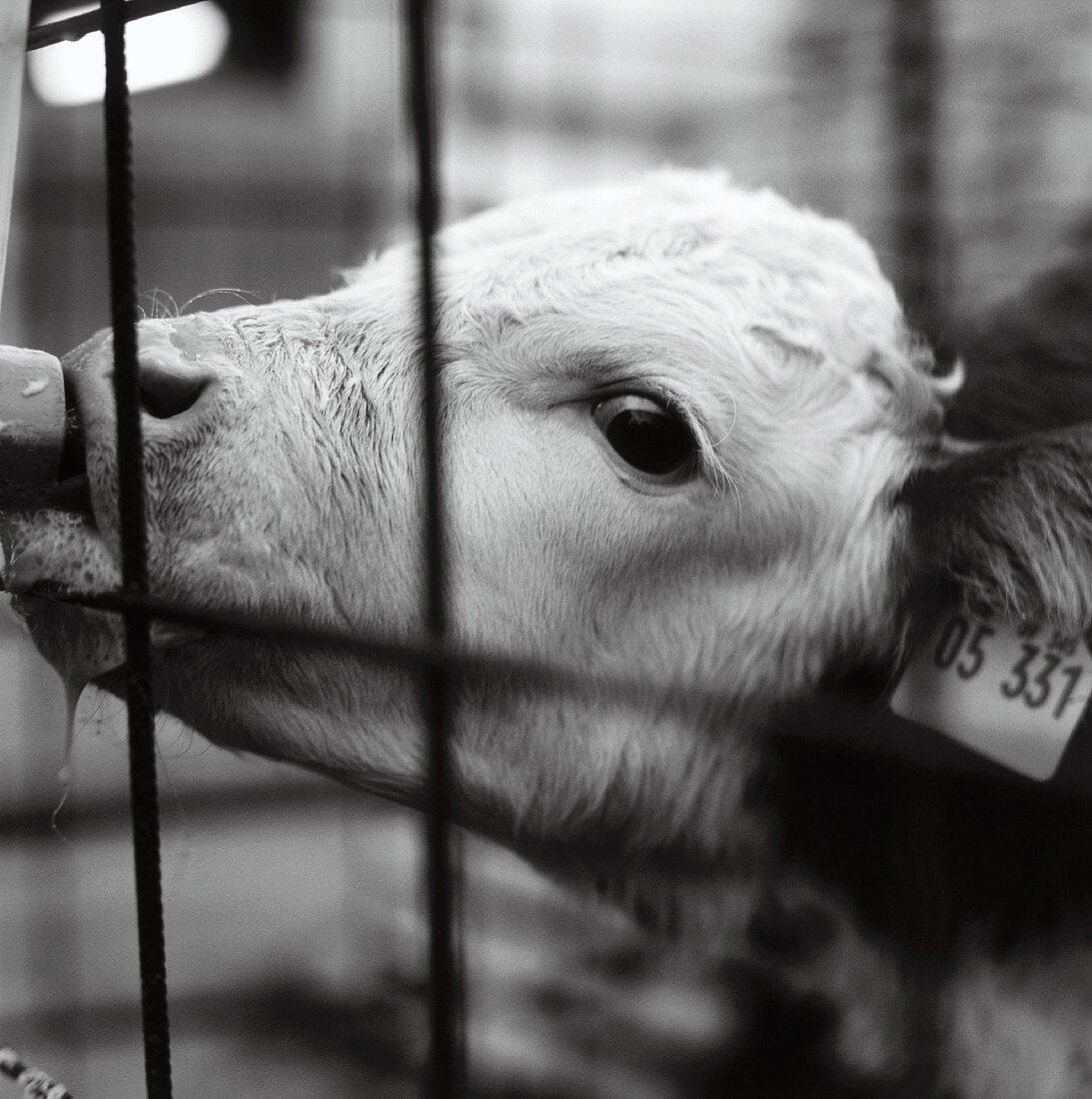 A calf sucking a milk dispenser