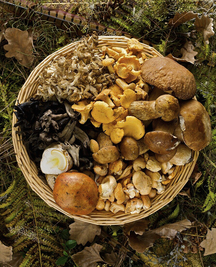 Assorted mushrooms in a wicker basket on the forest floor