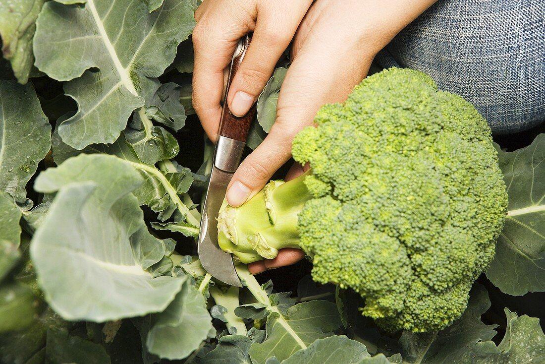A woman picking fresh broccoli