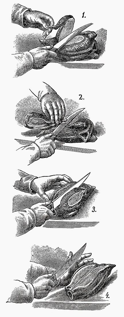 Carving poultry (Illustration)