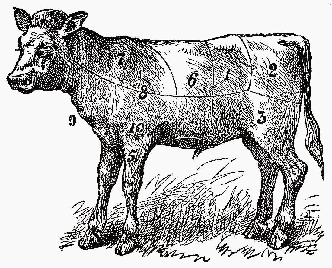 Calf (Illustration)