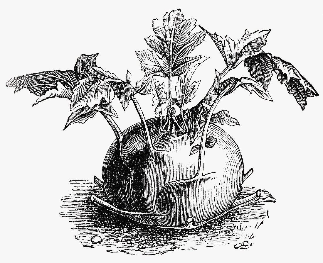 Kohlrabi (Illustration)