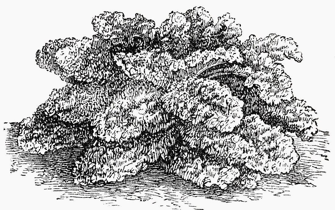 Curly kale (Illustration)