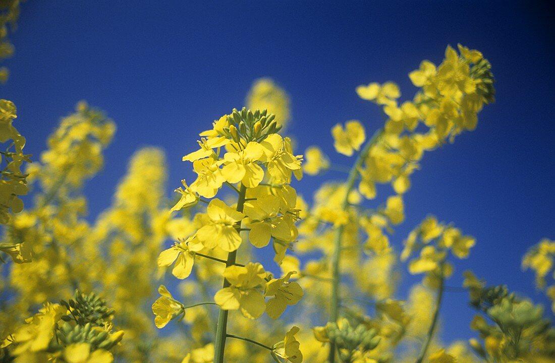 Flowering oilseed rape