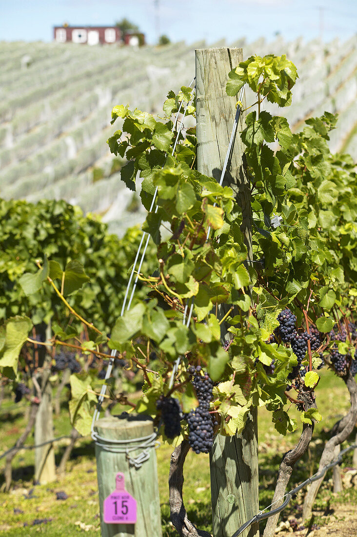 Pinot noir grapes on the vine, New Zealand