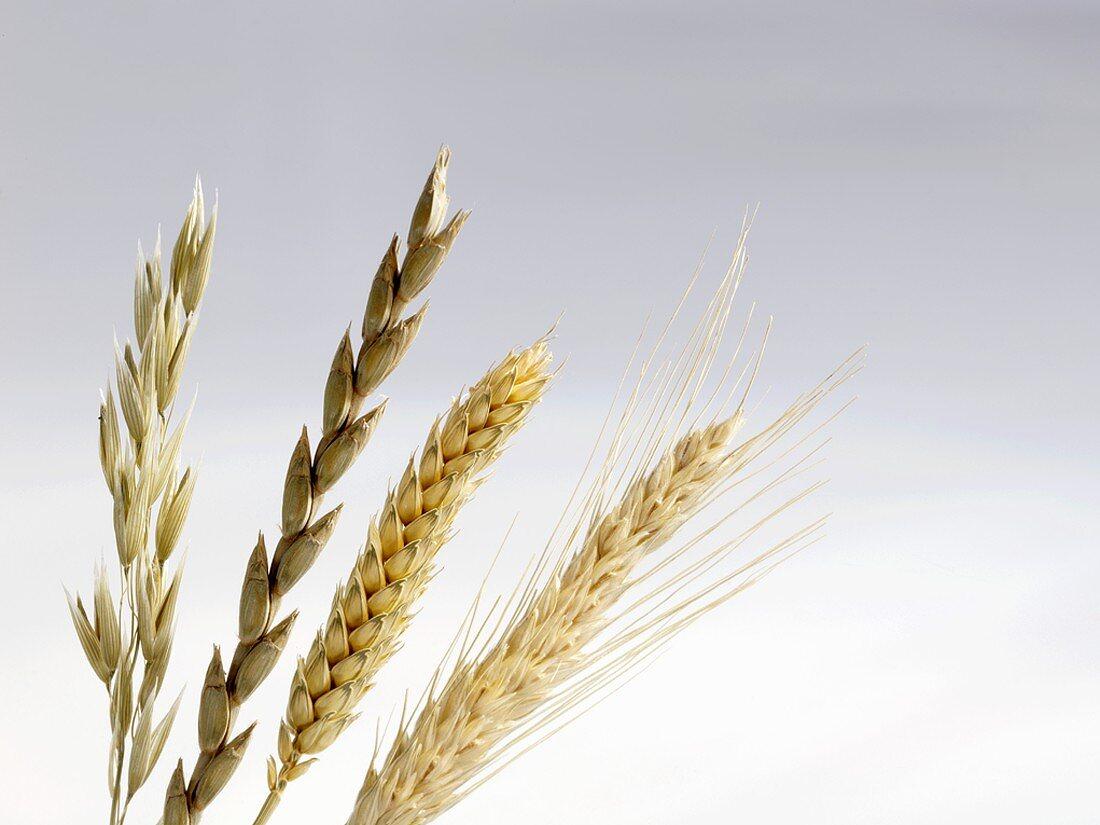 Ears of oat, spelt, wheat and barley