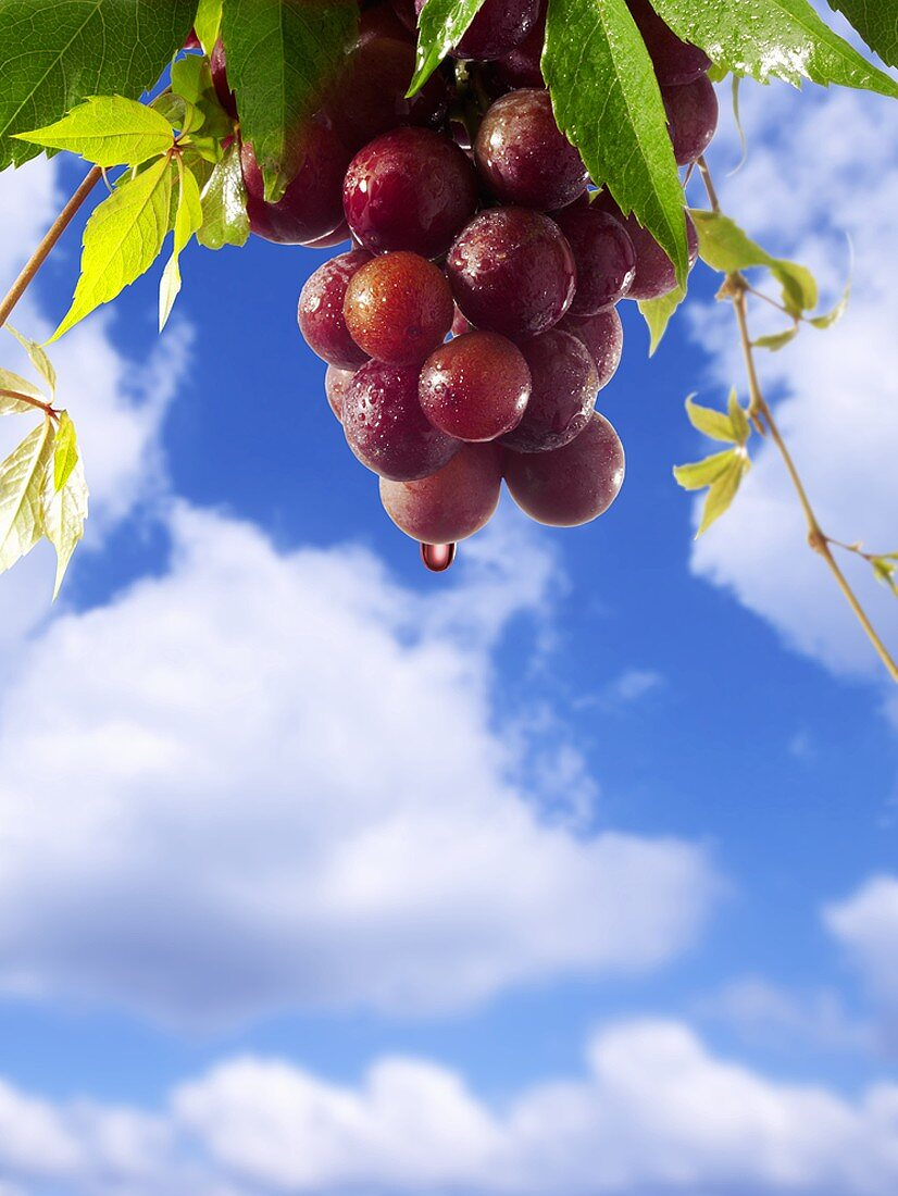 Red wine dripping from grapes against blue sky