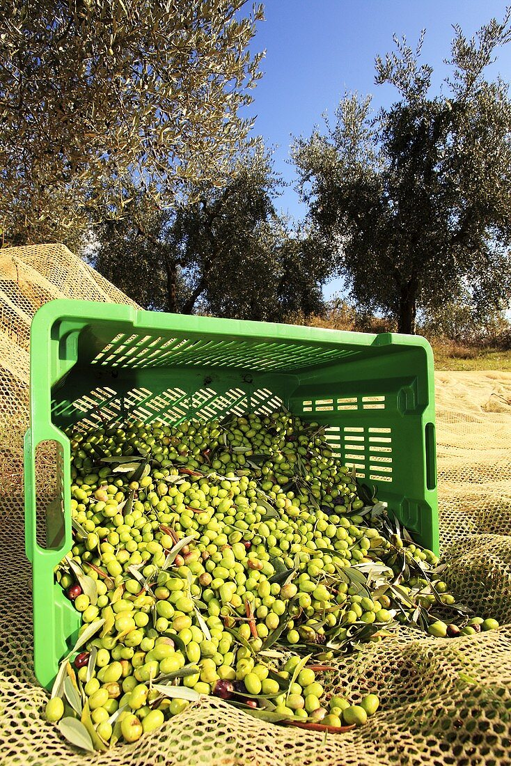 Harvested olives in a basket, Perugia, Umbria, Italy
