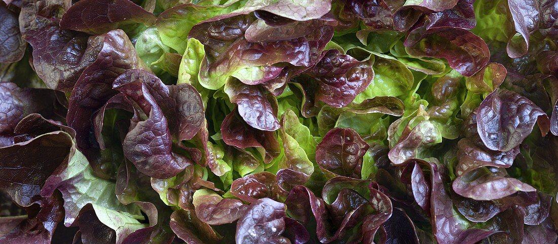Batavia lettuce (macro zoom)
