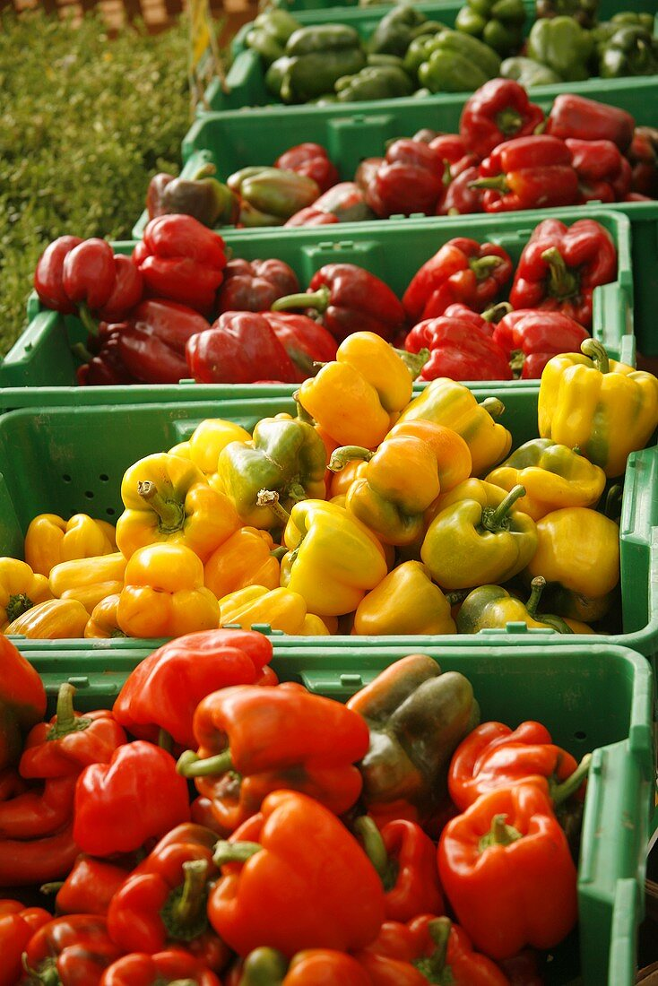 Organic Red, Yellow, Orange and Green Bell Peppers at Farmer's Market