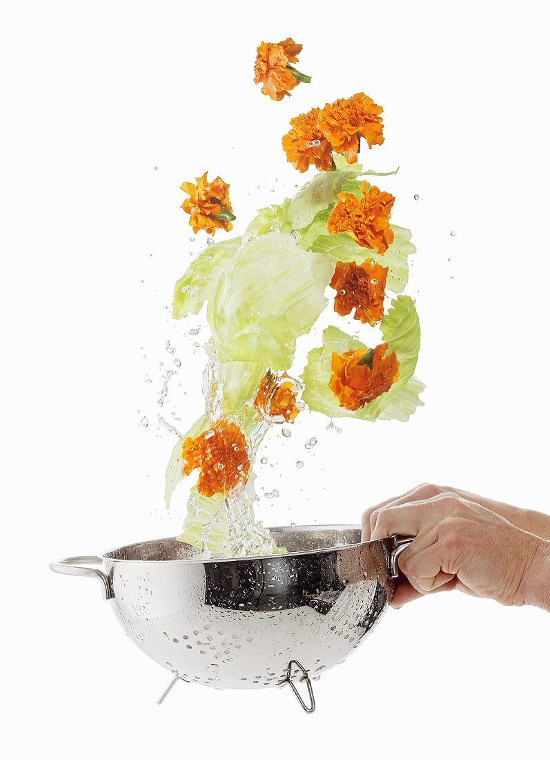 Iceberg lettuces and marigolds being washed