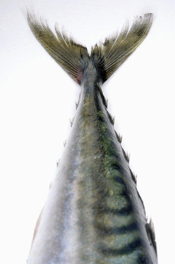 Mackerel tail