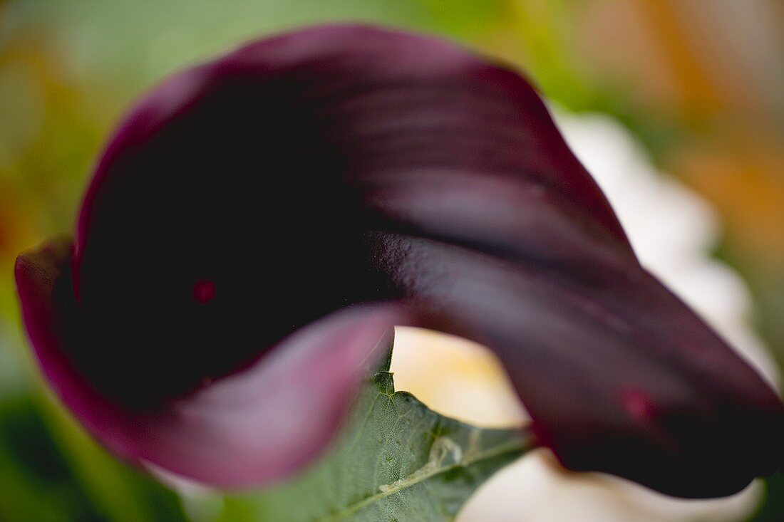 Dark red calla lily