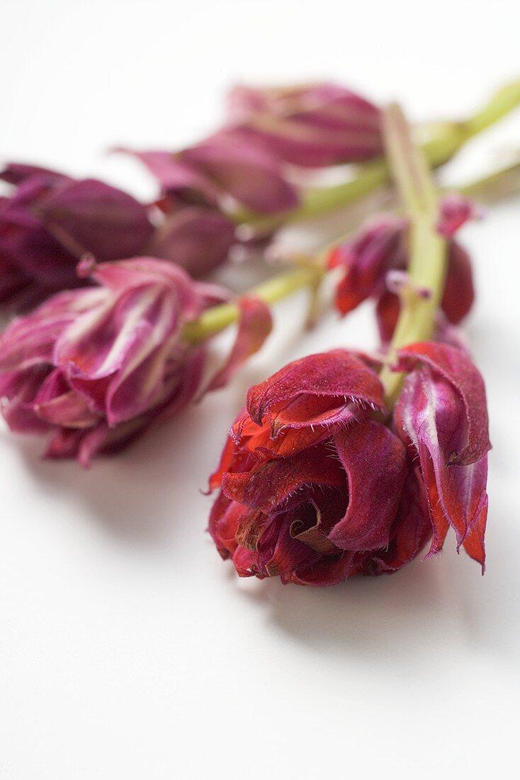 Red sage flowers
