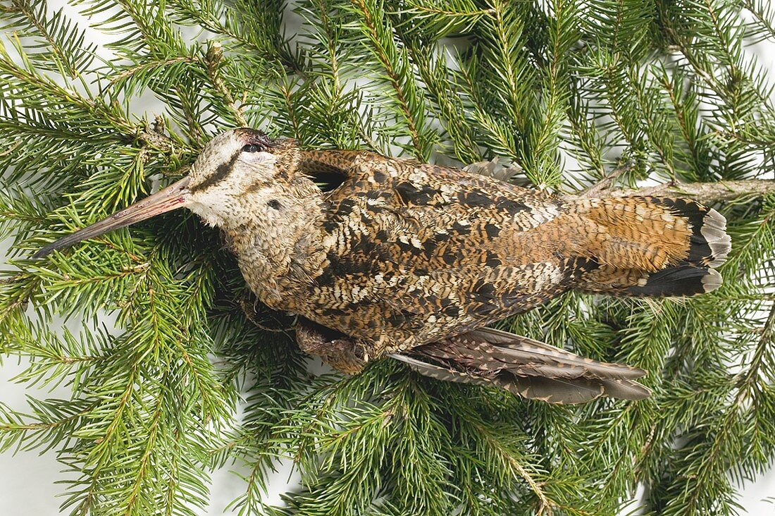 Snipe with feathers on fir branches