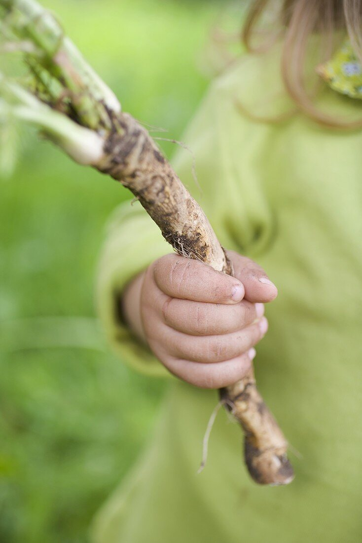 Child holding fresh horseradish from the garden