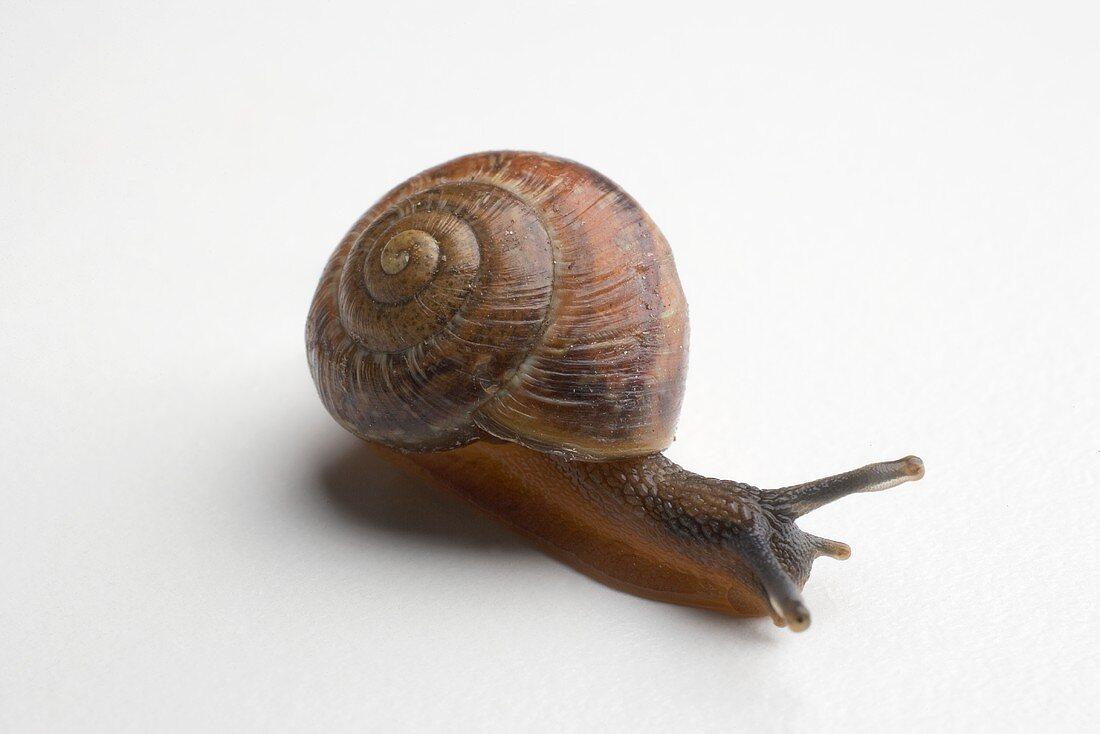 Live snail