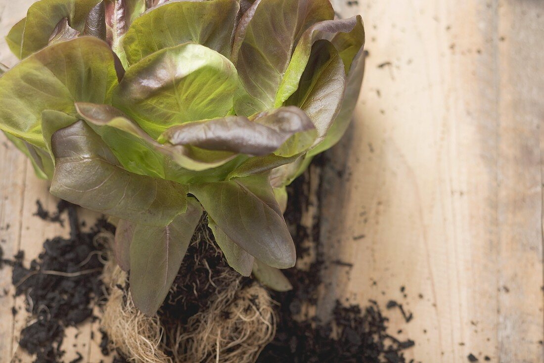 Red lettuce plant with roots & soil on wooden background