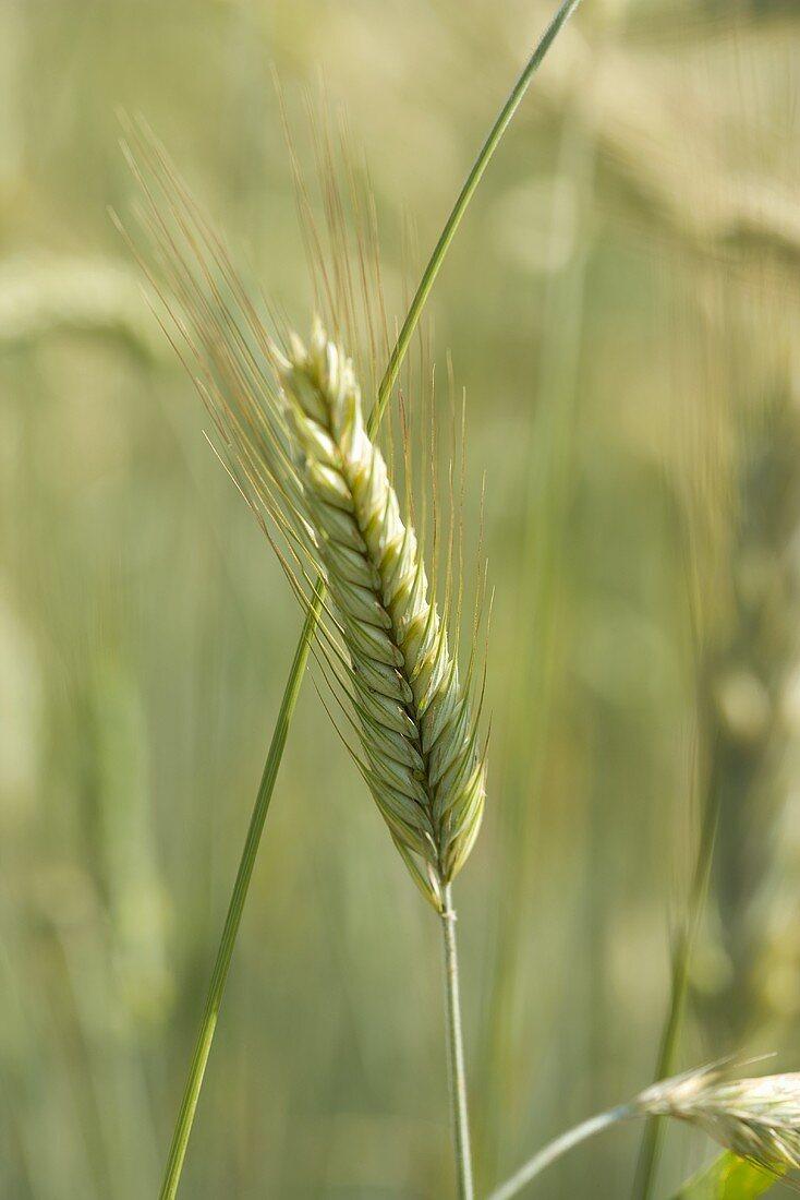 Ear of barley in the field